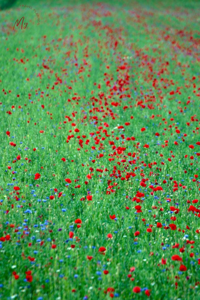 La fioritura di Castelluccio