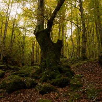 Foliage in Emilia Romagna negli antichi castagneti