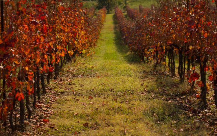Foliage in Emilia Romagna nei vigneti della Romagna