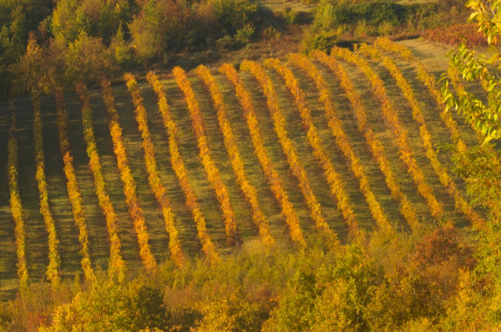 Foliage a Bologna e dintorni, i vigneti