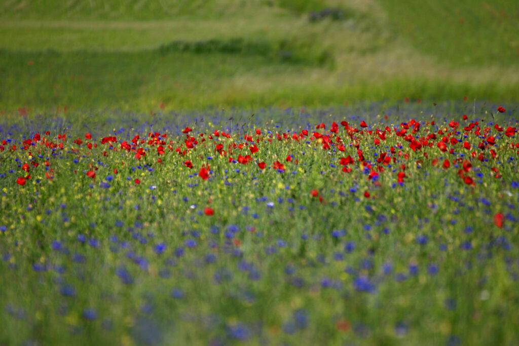 quando andare a Castelluccio, le fioriture di giugno e luglio
