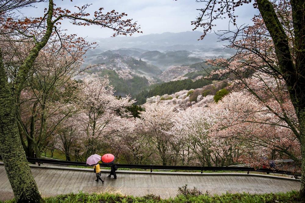 le fioriture più belle del mondo, i ciliegi in Giappone