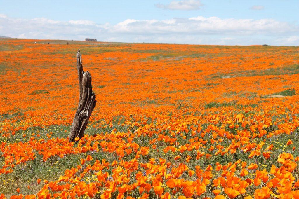le fioriture più belle del mondo: i papaveri arancioni